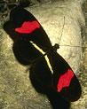 Butterfly Ecards